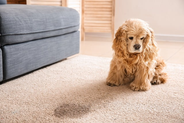 Cute dog calling best carpet cleaning services in Toronto